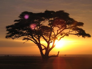 Acacia_tree_safari